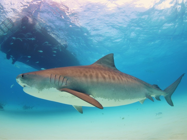 Tiger shark under boat
