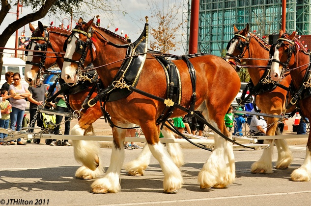 News_St Paddys Clydesdales