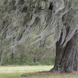 Louisiana Along LA 18 near Vacherie Louisiana moss on tree