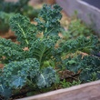 Kale growing in a raised garden bed.