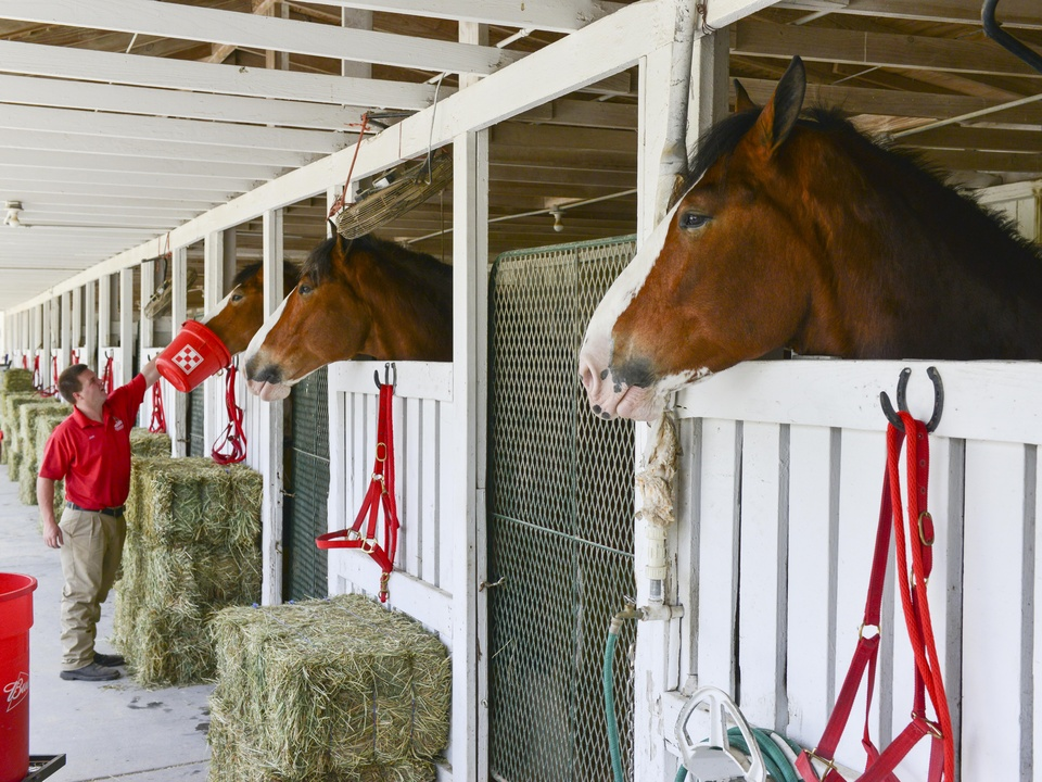 17 Budweiser Clydesdales at Opening Day March 2014