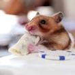 Tiny hamster eats a tiny burrito
