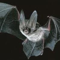 Austin Photo: News_kevin_TPWD_Big-eared bat_September 2012_flying