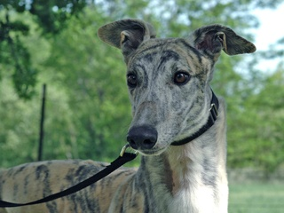 Greyhound Adoption League of Texas 15th Anniversary