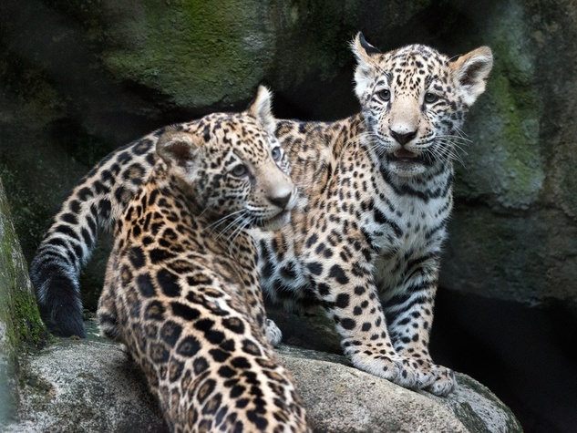 Jaguar cubs at Houston Zoo
