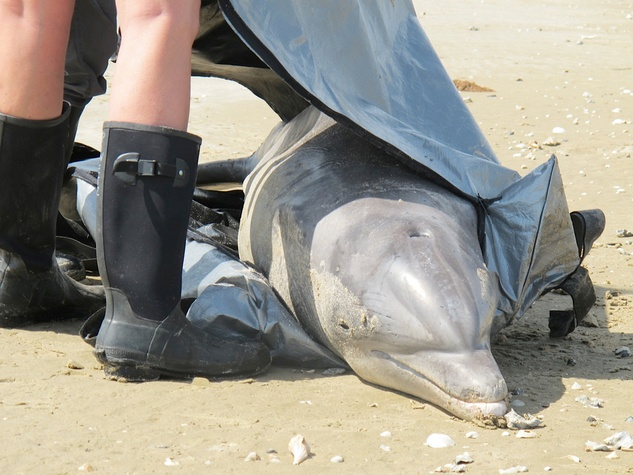 Galveston oil spill March 2014 dead dolphin being taken care of