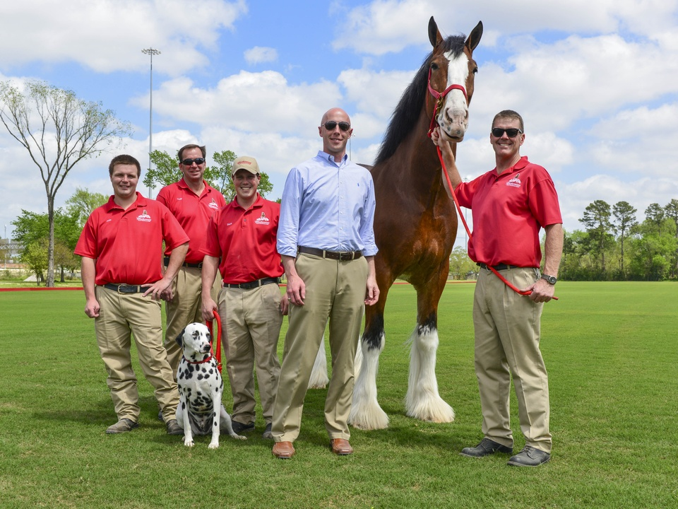 11 Budweiser Clydesdales at Opening Day March 2014