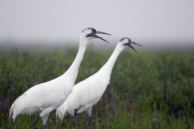 Austin Photo: News_kevin_TPWD_whooping crane_December 2012