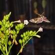 photo of hawk moth feeding from tobacco