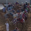 News, Shelby, Dubai camel races, January 2015
