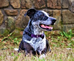 Pet of the Week_Hoffman_Blue_Catahoula