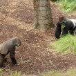 Houston Zoo gorillas YP Gorillas Binti and Zuri