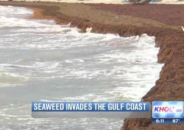 Galveston seaweed 2014 KHOU 2
