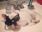 Manny the French bulldog sleeps in a sink