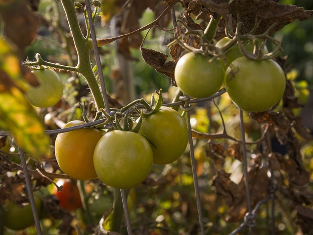 Tomatoes ripening on a dying plant