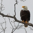 bald eagle at Lake Buchanan perched on tree limb