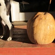 15 Katie Laughing Frog Farm October 2013 MOJO and Pumpkin