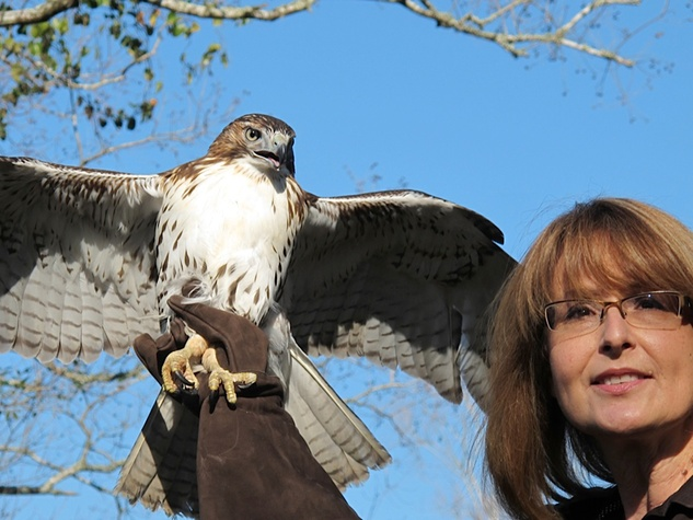 11 Katie Oxford Clear Creek Nature Center hawk release January 2014 red-tailed Hawk #1 and Sharon Schmalz
