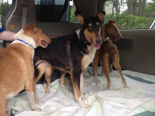 collies rescued September 2014 Dr. Elaine Kmiec