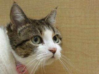 Austin Pets Alive! cat, Buffy