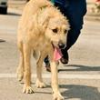 News_St Paddys Irish wolf hounds