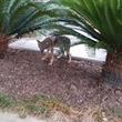 4 coyotes near Bayou Bend October 2014