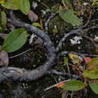 News_UnAlaska_Tundra Vegetation