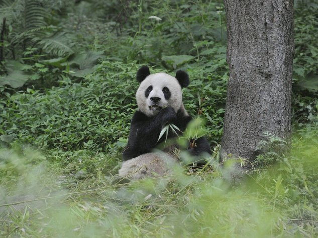 Pandas: The Journey Home by National Geographic
