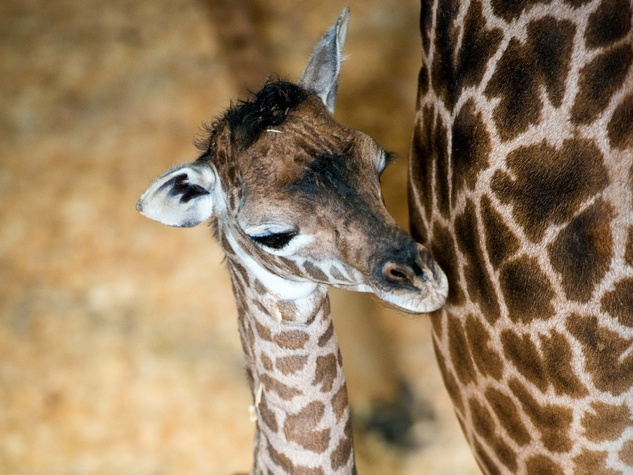 Houston, Houston Zoo, September 2015, baby giraffe