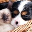 kitten puppy in basket