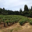 Hillside Riesling vineyards at Stony Hill Vineyards