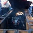 Austin Photo Set: News_Dupuy_bbq camp_butchering_june 2012_wholepig