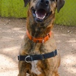Apache sitting Austin Pets Alive! pet of the week dog