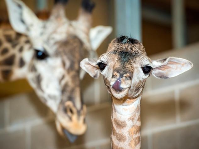 6 Houston Zoo Masai giraffe born to Tyra February 2014
