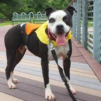 Brooke the bulldog APA! pet of the week on leash boardwalk
