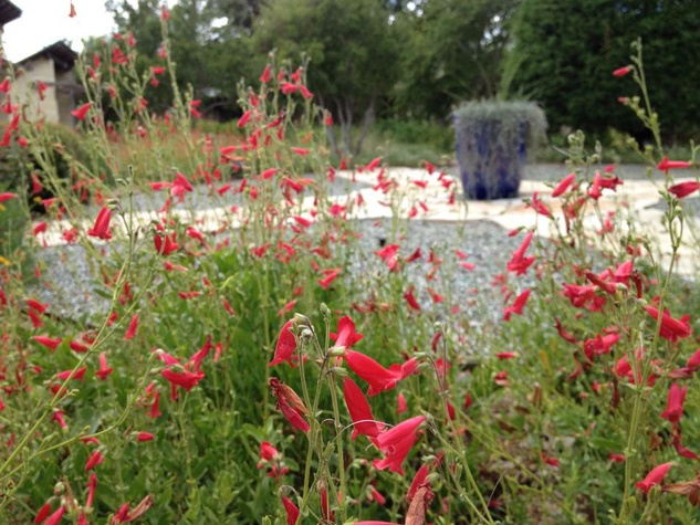 Penstemon at LBJ Wildflower Center