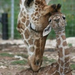 Baby giraffes at Natural Bridge Wildlife Ranch