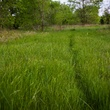 Green grass with a rabbit trail
