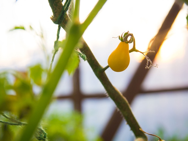 Photo of ripe yellow pear tomato on March 9, 2014