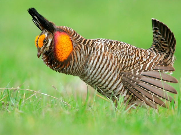 Attwater's Prairie Chicken bird watching