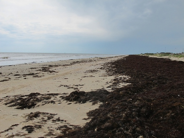 1 Katie Oxford seaweed April 2015 After a storm, it blanketed the beach like wet draperies