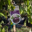 Plum tree with label