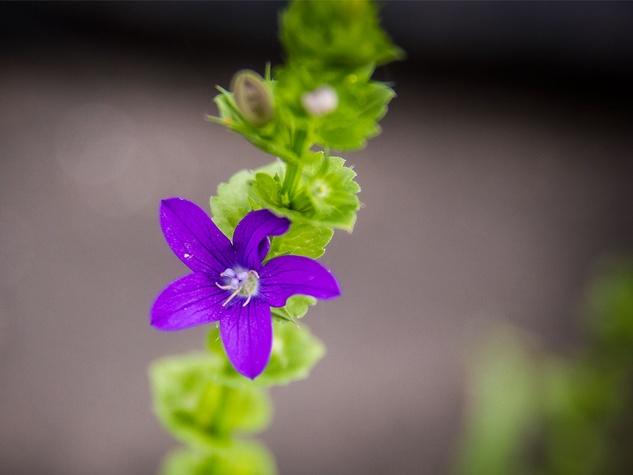Photo of Venus Looking-glass flower