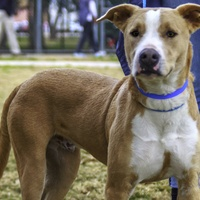 Hoffman's Houston - Pet of the Week - Blue