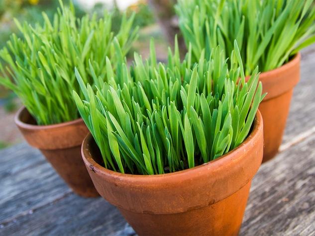 Photo of pot of cat grass