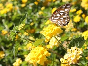 Yellow Texas Lantana and butterfly at ranch in Brenham, Texas