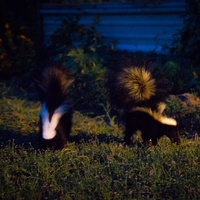 Juvenile skunks foraging for food