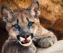 News_University of Houston_cougar cub_Houston Zoo_Shasta