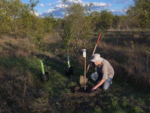 Plum tree being planted